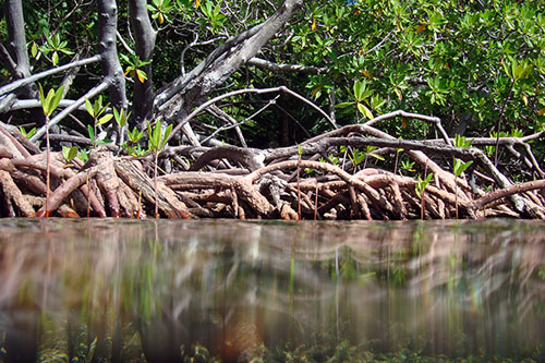 Mangroves, such as this one in the Virgin Islands, are significant absorbers of carbon dioxide. Photos U.S. Geological Survey/Photo by Caroline Rogers
