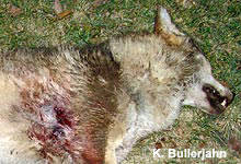 Seit 2000 wurden mindestens sieben Wölfe illegal erschossen. Image cedit: NABU.de