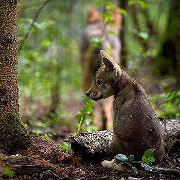 10.000 Euro Belohnung setzt der WWF für sachdienliche Hinweise aus. © Wild Wonders of Europe /Sergey Gorshkov / WWF