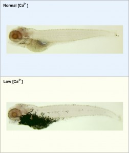 The image depicts two zebrafish. One has been raised in water containing a normal concentration of calcium and the other has been raised under low calcium conditions. The specific cells that specialize in calcium uptake for the body have been stained. It is apparent that under normal calcium conditions (top panel) there are just a few of these cells present. Under low calcium conditions (bottom panel) the staining has elucidated exponentially more of these cells (many more dark spots present). Image credit: University of Michigan (Click image to enlarge)