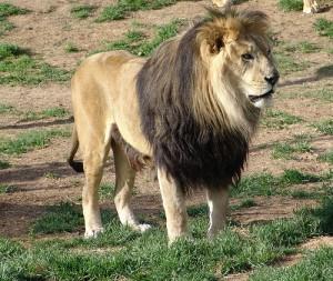 In Äthiopien leben noch etwa 1.000 bis 1.500 Löwen. Image credit: Drew Avery (Source: Flickr)