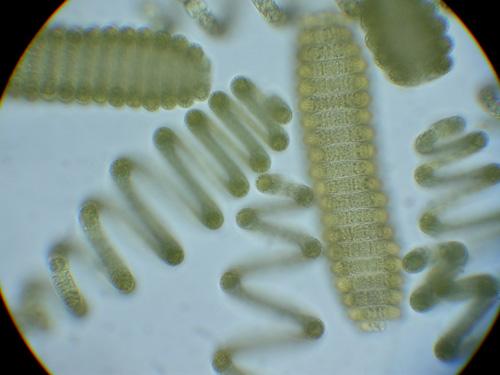 """Arthrospira wird auch kommerziell als """"Spirulina platensis"""" in Reformhäusern vertrieben. (Image copyright: Michael Schagerl)"""