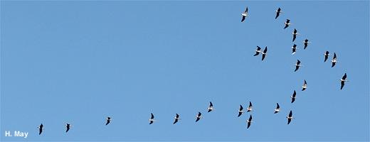 Zum Überwintern fliegen verschiedenste Gänsearten nach Aserbaidschan. Image credit: NABU.de