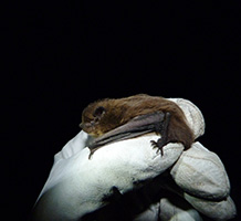 The bat's journey across the North Sea is thought to be the first on record. Image credit: University of Exeter