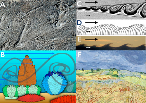 Canopy flow and rangeomorph communities. A: Bedding plane, at Mistaken Point, Newfoundland, showing the preservation of rangeomorph taxa. B: Schematic of the reconstructed community showing the velocity gradient (blue arrows) and large Kelvin-Helmholtz vortices. C: Kelvin- Helmholtz vortices visualised at the boundary between parallel flows of different velocity. D: The waving of a vegetated canopy produced by Kelvin-Helmholtz vortices. E: Kelvin-Helmholtz Vortices produced in a cloud layer. Arrows in C-E indicate the relative velocity of flow. F: 'The Fields' by Vincdent van Gogh was among a number of his paintings inspired by Kelvin-Helholtz behavior of fields and clouds. Image credit: Current Biology