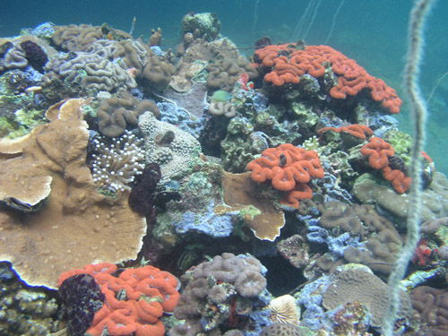 Despite living in waters that are more acidic than average seawater, the corals living in the bays around Palau's Rock Islands are unexpectedly diverse and healthy. (Photo courtesy of Palau International Coral Reef Center)