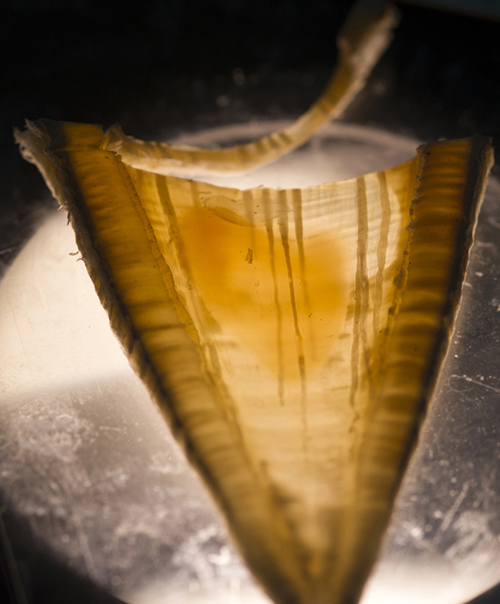 Estimating age in white sharks can be challenging. While vertebrae are constructed of layers of tissue, laid down sequentially over an individual's lifetime, the alternating light/dark banding patterns can be narrow and less distinct than in other species, and the bands don't necessarily signify annual growth. Image credit: Tom Kleindinst, Woods Hole Oceanographic Institution