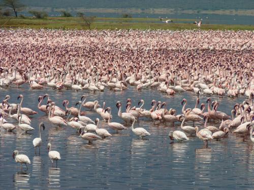 Massenauftreten von Flamingos am Lake Bogoria, Kenia. (Image copyright: Michael Schagerl)