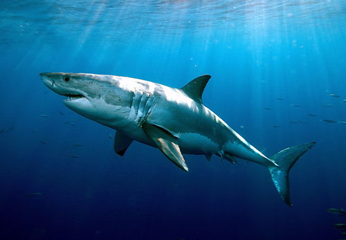 White sharks are considered vulnerable worldwide. Since individuals are slow growing and mature late, white shark populations could be even more sensitive to fishing, environmental and other pressures. Image credit: Greg Skomal, MA Marine Fisheries