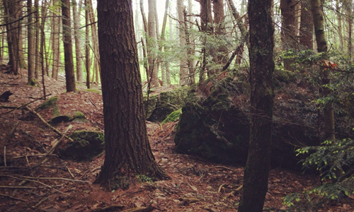 Stands of Eastern Hemlock in Harvard Forest. Photo by Colin Averill.
