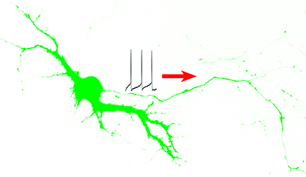This image of a neuron illustrates the movement of a nerve impulse along an axon – the long, slender extension of the nerve cell body. Ohio State University researchers have discovered how a key protein finds its way to the right spot on the axon to launch these vital electrical impulses, which enable communication of nerves' sensory, movement and memory signals to and from the brain. Image courtesy of Chen Gu, Ohio State University