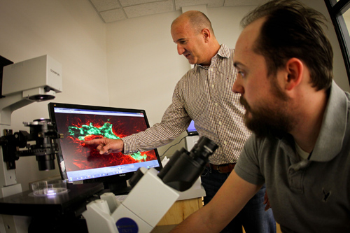 University of Utah bioengineers Jeff Weiss and Lowell Edgar look at a display screen showing a microscope image of a tiny blood vessel fragment (green) surrounded by collagen matrix (red). They have developed a computer simulation of blood vessel growth that represents a step toward better understanding of cancer metastasis and better treatments for diseases like diabetes and heart attack in which blood supply is affected. Photo Credit: Dan Hixon, University of Utah College of Engineering