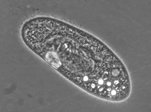 Molecular motors. This paramecium uses cilia for movement and for harvesting nutrients. Researchers have found that cilia in the same organism may operate at different speeds under certain conditions, animated by different molecular motors. Image credit: Valles lab/Brown University