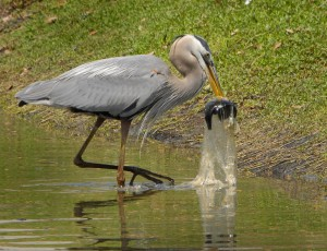 Great Blue Heron Swallows Fish in Plastic Bag! Image credit: Andrea Westmoreland. Image source: Flickr (Click image to enlarge)