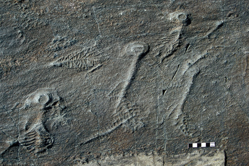 Rangeomorph fossils. The oldest known fossil communities of large, multicellular organisms called rangeomorphs are found on rock surfaces along the coast of Newfoundland, Canada. Image credit: Current Biology