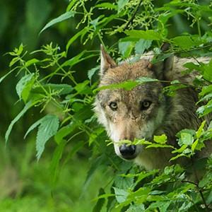 Die Rückkehr der Wölfe sollte gestaltet werden. Image credit:  © Ralph Frank / WWF