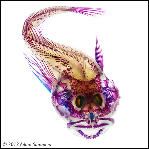 This scalyhead sculpin was the first fish Adam Summers posed for artistic effect rather than for strictly scientific purposes. Image credit: A Summers/U of Washington
