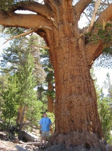 A western white pine (Pinus monticola) in Kings Canyon National Park, Calif., towers over USGS ecologist Nathan Stephenson. Scientists analyzed data from 403 species of trees from around the world -- including western white pine (Pinus monticola), pictured here -- and learned that in general, a tree's growth continues to accelerate as it ages. This finding reverses previous assumptions, and suggests that large old trees play an unexpectedly dynamic role in removing carbon from the atmosphere. Image credit: Rob Hayden/Nate Stephenson, USGS (Click image to enlarge)