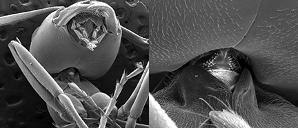 Electron micrographs of an Allegheny mound ant. Ohio State University engineers studied the ant's neck region, shown in more detail to the right. Image courtesy of Ohio State University.