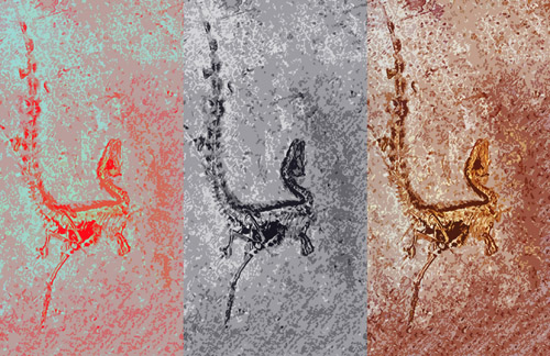 Analysis for the distribution of shapes of melanin-containing organelles (melanosomes) in fossil and living amniotes shows that fuzz-covered dinosaurs like Sinosauropteryx share similarities with living lizards, turtles and crocodilians. In these living taxa color and the shape of the melanosomes are not linked in such a way that color can be reconstructed from melanosome shape alone. Melanosomes in Sinosauropteryx don't presently tell us if this animal was brown, blackish or grey. However, feathered dinosaurs are similar to birds, and we can estimate their color. Image credit: Li et al. (authors)