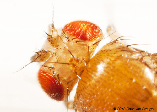 Fruit flies use their antennae, the two pill shaped bumps sticking out from the front of the head, to detect odors. Image credit: Floris van Breugel