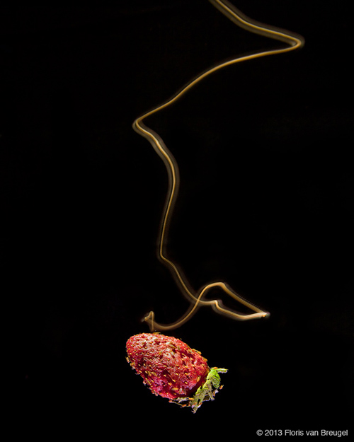 A long-exposure photograph reveals the last few seconds of a fruit fly's search – surging forward when it has the scent and casting when it loses the odor, all the while looking for fruit-shaped objects. Image credit: Floris van Breugel