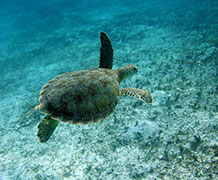 Since the 1980s more than two million turtles have been legally caught. Image courtesy Peter Richardson