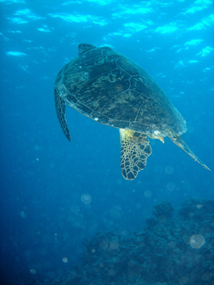 Green turtle (Chelonia mydas) in the Great Barrier Reef off the east coast of Australia. Photo credit: Annemarie Kohl / Nicolai Schäfer (Source: Wikipedia)