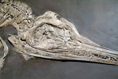 Langschnabel-Ichtyosaurier. Foto credit: S. Tränkner / Senckenberg