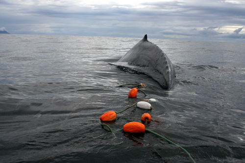 Large whales break away from anchored fishing gear, but often swim off with residual gear wrapped around their appendages, which adds substantial drag inhibiting their ability to dive and forage. Being entangled slowly drains their energy to swim and fight infections. If not disentangled, the animal ultimately dies. (Photo courtesy of NOAA Fisheries)