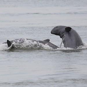 Flussdelfin im Mekong. Image credit: © Gerry Ryan / WWF Greater Mekong