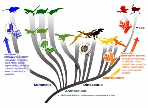 """The """"rules"""" allowing color reconstruction from the shape of melanin-containing organelles originate with feathered dinosaurs, and are associated with an increase in melanosome diversity. However, fuzzy dinosaurs like T. rex and Sinosauropteryx show a pattern found in other amniotes like lizards and crocodilians in which a limited diversity of shapes doesn't allow color reconstruction. An explosion in the distribution of the shapes of melanin-containing organelles preserved in living taxa and the fossil record may point to a key physiological shift within feathered dinosaurs. Image credit: Li et al. (authors). Click image to enlarge."""