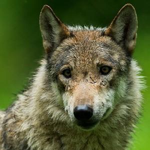 WWF-Umfrage zur Rückkehr des Wolfs. Image credit: © Ralph Frank / WWF