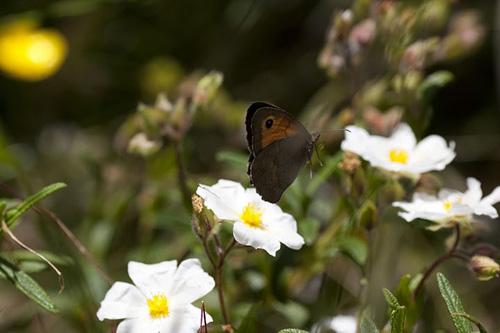 Männchen des Schmetterlings Maniola jurtina. Image copyright: L.E.L. Raijmann