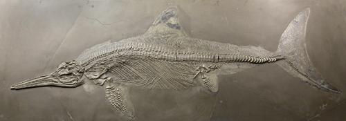 Stenopterygius, ein Fischsaurier. Foto credit: S. Tränkner / Senckenberg