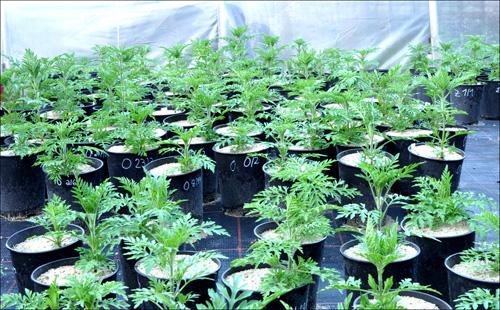 Ambrosia-Pflanzen im Common Garden-Experiment, bei dem Pflanzen aus verschiedenen Herkunftsregionen unter gleichen Bedingungen ausgesät werden. Bild credit: M. Leiblein-Wild