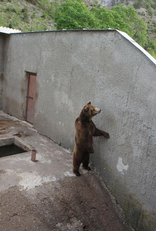 Im Kormisosh-Auswilderungs-gehege in Bulgarien werden auch heute noch Bären gehalten. Image credit: © Aleksandar Dutsov, Balkani Wildlife Society