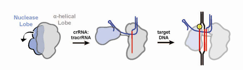 Upon binding with guide RNA, the two structural lobes of Cas9 reorient so that the two nucleic acid binding clefts face each other, forming a central channel that interfaces with target DNA. Image credit: Berkeley Lab