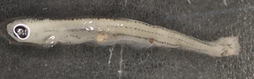 Junge Fischlarve (ca. 12 mm) aus der Donau mit einem Plastikpartikel im Darmtrakt. Image copyright: R. Krusch.
