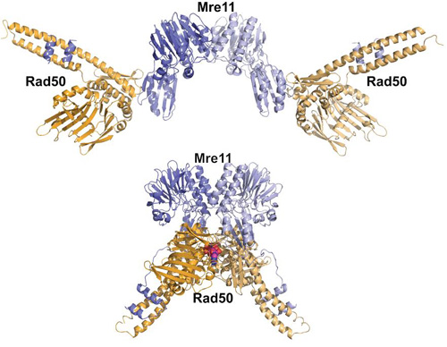 One protein complex, two very different shapes and functions: In the top image, the scientists created an Mre11-Rad50 mutation that speeds up hydrolysis, yielding an open state that favors a high-fidelity way to repair DNA. In the bottom image, the scientists slowed down hydrolysis, resulting in a closed ATP-bound state that favors low-fidelity DNA repair. (Image credit: Tainer lab)