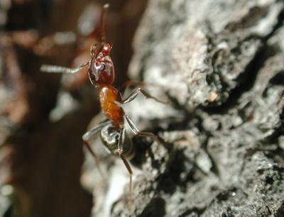 Die Ökologen untersuchen u.a. das Verhalten von Ameisen. Im Bild eine Ameisenarbeiterin, die aggressives Verhalten zeigt. Foto credit: B.C. Schlick-Steiner/ F.M. Steiner