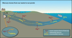 At various stages and locations along the wastewater plume, different forms and amounts of mercury are released. Where the wastewater is first deposited, the bacteria that break down the carbon and nitrogen from the waste consume all of the oxygen in the sediment and groundwater, making it anoxic. Microbes and bacteria switch to anaerobic respiration and the predominant form of mercury, ionic mercury (Hg2+), which sticks to the sediment, converts into elemental mercury (Hg0) and monomethylmercury (MMHg), which do not stick and are more mobile. Once they enter the groundwater, Hg0 and MMHg can easily move downstream. MMHg is the form of mercury found in some fish that has a detrimental impact on human health. Illustration by Jack Cook, Woods Hole Oceanographic Institution (Click image to enlarge)