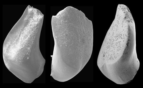 Marmorkarpfenzähne des 37 Millionen Jahre alten Fossils. Image credit: ©Senckenberg