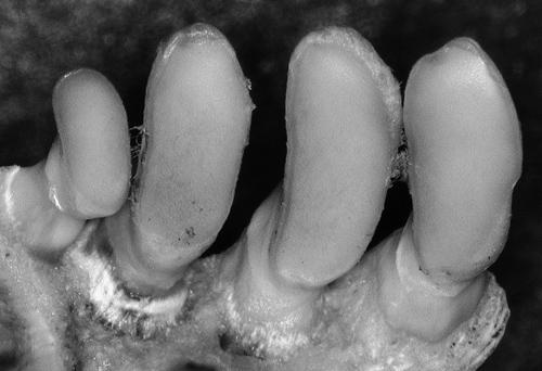 Zähne einer heute lebenden Marmorkarpfenart. Image credit:  ©Senckenberg