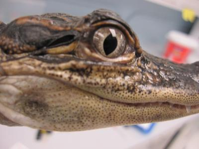 This is an alligator that participated in a University of Maryland study that found that the alligator's ear is strongly directional because of large, air-filled channels connecting the two middle ears. This photo shows the earflap opening behind the alligator's eye. Image credit: Hilary Bierman