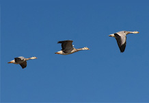 Bar-headed geese can fly as high as 7,290m (23,917ft). Image courtesy Nyambayar Batbayar.