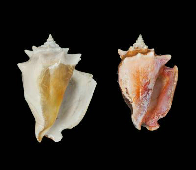 Caribbean fighting conchs. Prehistoric fighting conch Strombus puglis (l) and modern shells of the same species (r) show how the shellfish has decreased in size over time. Image credit: Smithsonian Tropical Research Institute/Aaron O'Dea