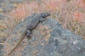 The Common Chuckwalla is primarily found across the Mojave and Sonoran deserts of the United States and Mexico, at elevations ranging from sea level to 1,370 m. This large (125–180 mm) lizard is dorsoventrally flattened and has wrinkles on its belly and neck. Chuckwallas are strongly associated with rock outcrops, lava flows, and boulder piles, and are well-known for their defensive behavior of inflating their bodies to wedge themselves in crevices. They are herbivorous, eating the leaves, flowers, and shoots of annual and perennial plants in the Mojave desert, and primarily perennial plants in the Sonoran desert. Preferred species of forage plants near Phoenix, Arizona, included mallows, desert lavender, America threefold, goldeneye, wolfberry, foothills palo verde, and ocotillo. Chuckwallas usually maintain active body temperatures between 35 and 40 degrees Celsius, yet wild individuals apparently obtain all of their water for metabolic needs from eating plants. Chuckwallas are long-lived and females may not breed every year. A clutch of 5–16 eggs is laid in mid to late summer, and hatchlings emerge in the fall, winter, or even the following spring. Although this species is common in many areas, in some locations excessive collecting and habitat destruction threaten population. Image credit: Fish and Wildlife Service