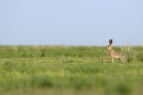 Feldhase. Image credit: © Wild Wonders of Europe / Igor Shpilenok / WWF