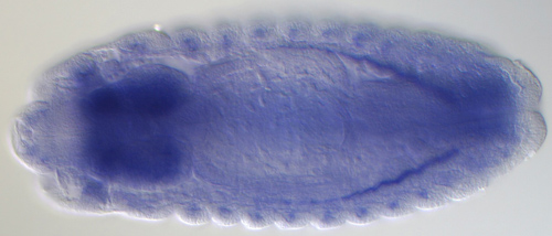 The remarkable complexity of the fruit fly transcriptome comes to life in this fruit fly embryo. Blue dye indicates the presence of RNA molecules in the brain from a previously uncharacterized gene (CG42748) that encodes hundreds of different proteins. Image credit: Berkeley Lab